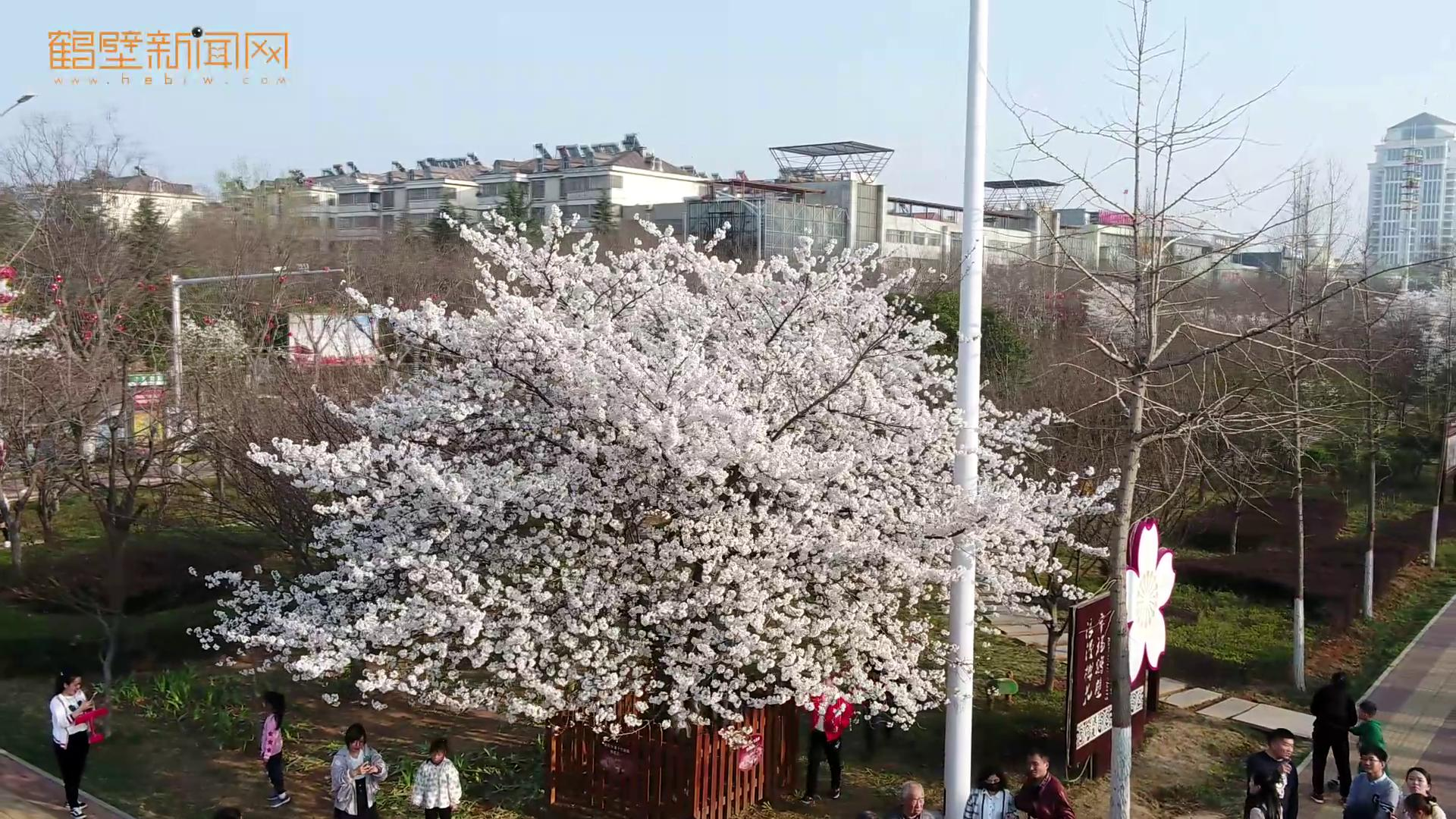 早樱初绽,鹤壁即将迎来最佳赏樱季